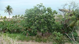 Brotfruchtbaum; Wanderung in den Hügeln von Nabukeru, Yasawa.