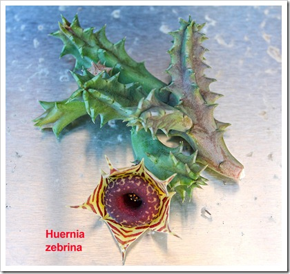 111107_candy_huernia_zebrina_cutting