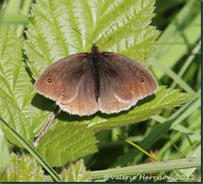 34-Meadow-Brown