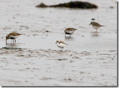Kentish Plover-8D3E8210