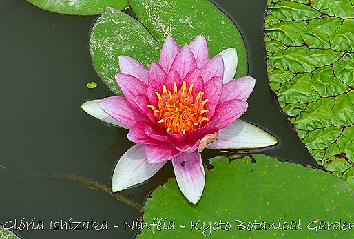 Glória Ishizaka - Ninféia -  Kyoto Botanical Garden 2012 - 1