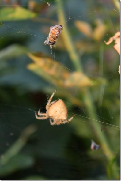 Crab Spider! 017