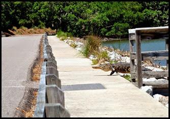 03a8c - Causeway- Gator crossing - I'm gonna make it