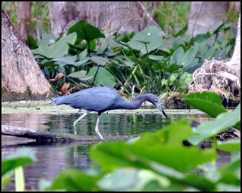 08 - Animals - Little Blue Heron 3