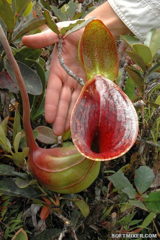 Nepenthes_lowii_upper_pitcher_scale_1_1024x1024