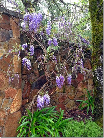 wisteria in Angwin