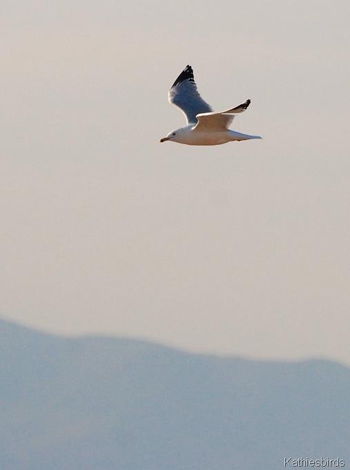 5. Herring gull Roosevelt lake-kab