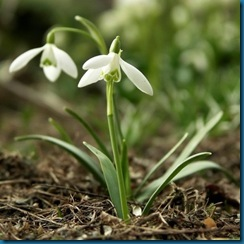 snow drop from bulbs