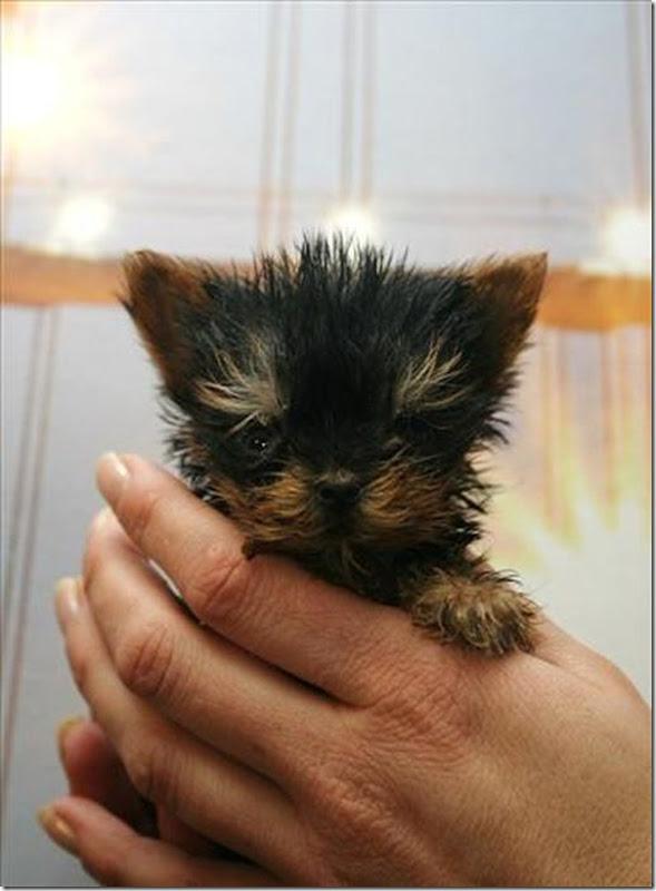 Terrier Meysi (4)