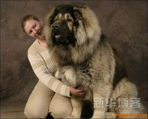 Largest Great Dane http://picasaweb.google.com/lh/photo/MdawB-6YROeWKNuMhE6n4w