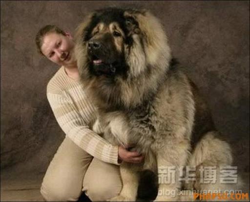 ... the title of top dog to Samson, the great dane-Newfoundland - m5x.eu