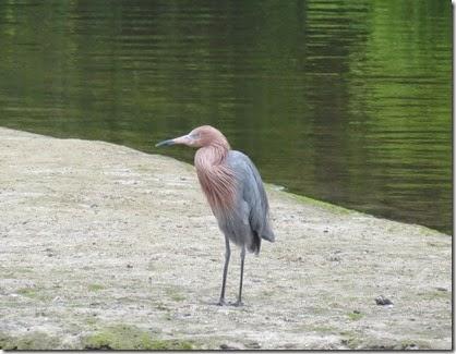 bonito_spring_san_reddish_egret