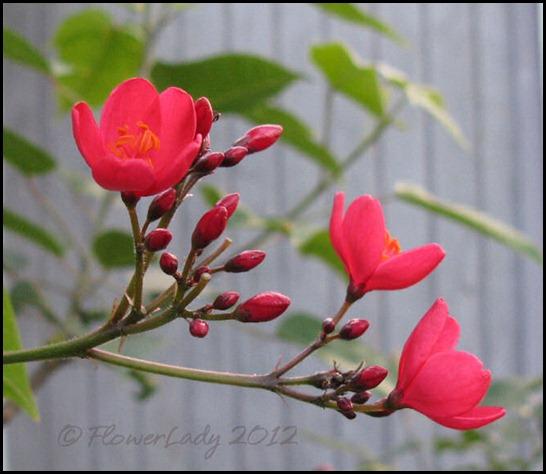 03-19-spicy-jatropha