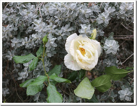 111127_rose Leucophyllum-frutescens