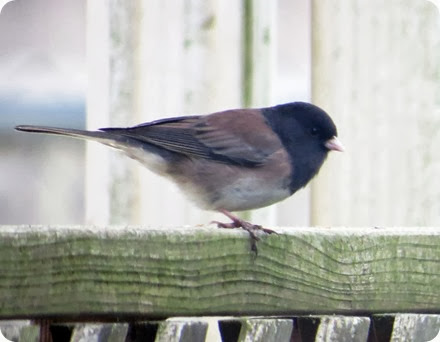 dark eyed junco3