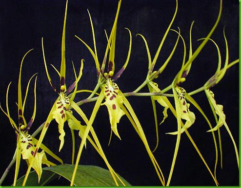 ORQ Brassia arcuigera