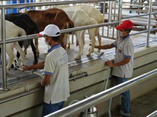 UK Farms - Goat milking at UK Farm