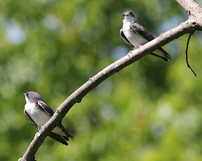 Young Tree Swallows - there were about 5 babies on this branch