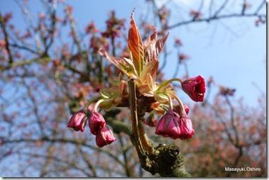 八重桜カンザン、花がもうすぐ開こうとする!
