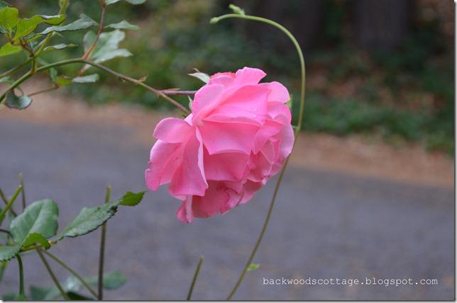 pinkrose1
