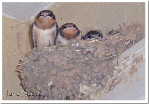 Swallows_3Babies