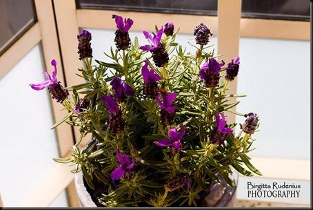 blom_20120722_lavendel