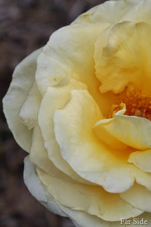 Sunshine Daydream Rose (2)