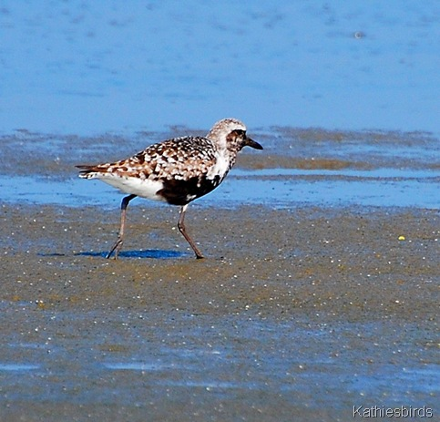 1. Black-bellied plover poem-kab