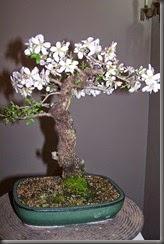 Almendro Flor 001