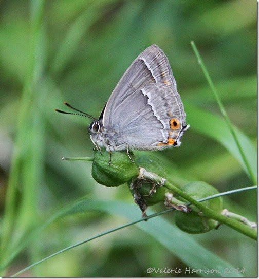 Purple-Hairstreak-4