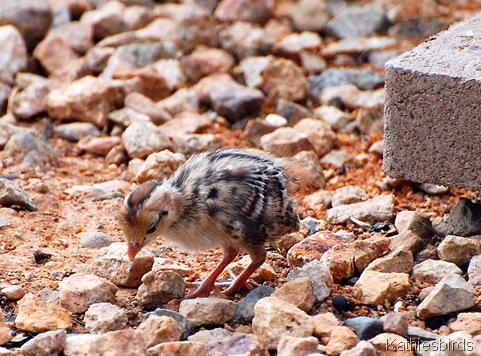 4. pebble sized quail AZ