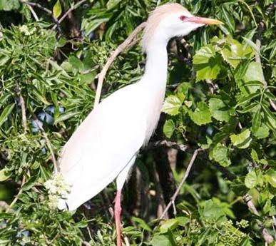 cattle-egret-12