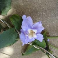 Tunbergia grandiflora. Als de temperatuur zakt worden de bloeislierten langer. Een echte winterbloeier hier op Madeira