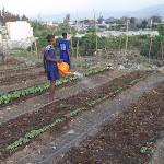 Haiti-Urban Agriculture- Jaden Tap Tap- 2010