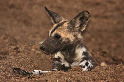 View Topic Camouflage Spots Pack African Wild Dogs