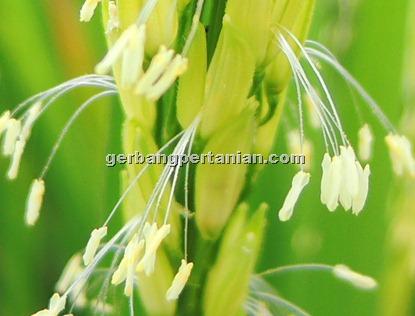 bunga-padi
