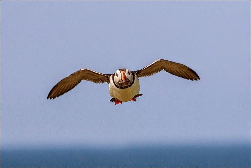 Farne Island Puffin
