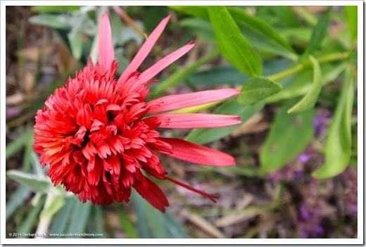140625_Echinacea-Hot-Papaya_001