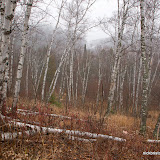 Birch Forest With Light Snow Starting / Gooseberry State Park / Minnesota