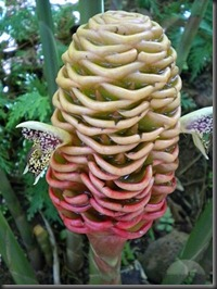 a-weird-looking-plant-at-tbg-ginger-i-think-volcanoes