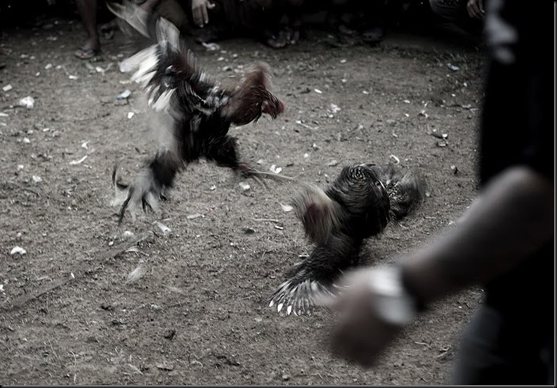 Bali Cockfights
