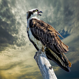 Osprey on a tree top by Sandy Scott - Digital Art Animals ( birds of prey, florida birds, osprey in a tree, birds, raptors, osprey,  )
