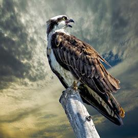 Osprey on a tree top by Sandy Scott - Animals Birds ( birds of prey, florida birds, osprey in a tree, birds, raptors, osprey,  )