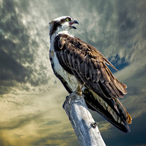 Osprey on a tree top by Sandy Scott - Digital Art Animals ( birds of prey, florida birds, osprey in a tree, birds, raptors, osprey,  )