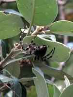 Orjaški pajek na drevesu ob poti