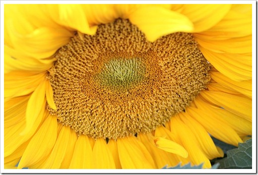 110707_sunflowers_davis_22