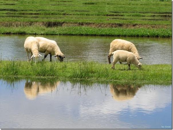 Ovelhas Pastando (4)