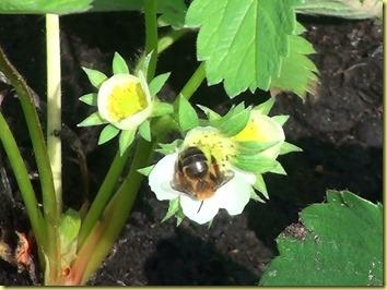 Erdbeere-Biene