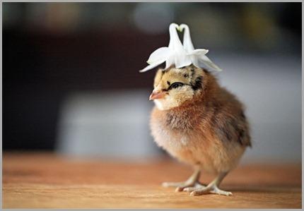 pollito-con-sombrero