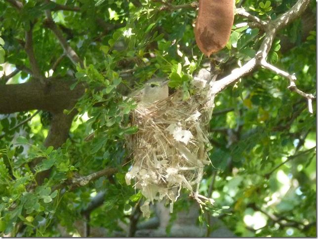 vireo in nest